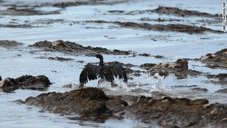 A bird covered in oil flaps its wings on Refugio State Beach north of Goleta, California, on Thursday, May 21.