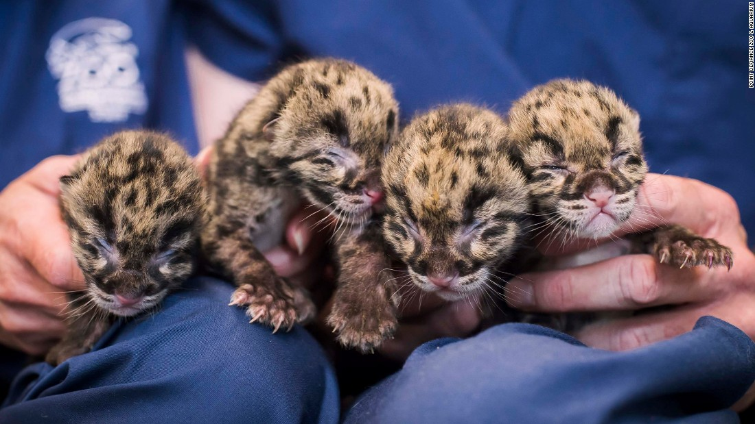Four clouded leopard cubs are held Sunday, May 17, at the Point Defiance Zoo & Aquarium in Tacoma, Washington. The smallest of the cubs weighs just 11.11 ounces -- about the same as a box of corn flakes.