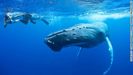 Snorkeling with humpback whales in Silver Banks, Dominican Republic.