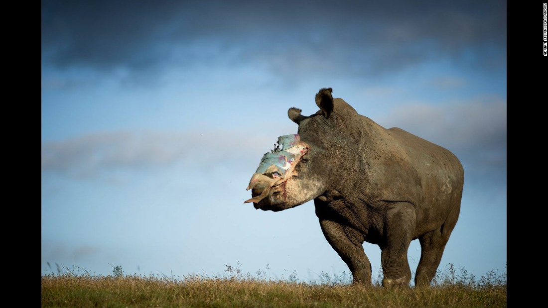 Hope, a 4-year-old female rhinoceros that survived a horrific poaching attack, recovers Tuesday, May 26, at the Shamwari Game Reserve in South Africa. Poachers hacked off her horn earlier this month, leaving her for dead.