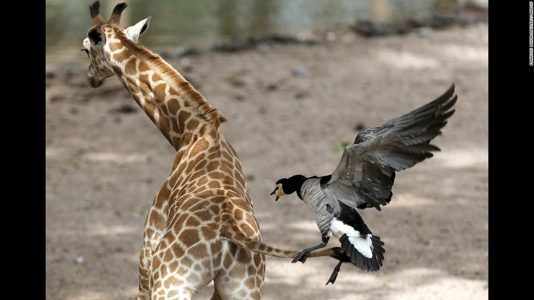 A goose attacks a newborn giraffe Monday, May 25, at the Pairi Daiza zoo in Brugelette, Belgium.