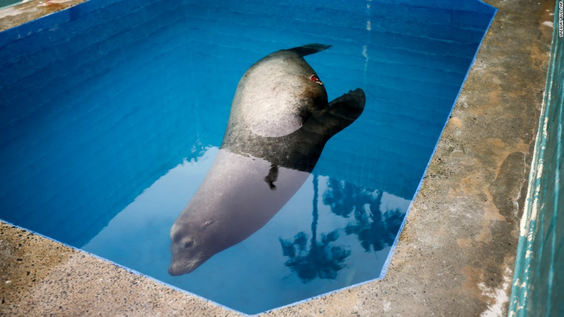 A giant sea lion nicknamed Bubba swims in a recovery pool Wednesday, May 27, at SeaWorld San Diego's animal rescue center. The sea lion, impaled by a homemade spear, had been rescued just off the coast of Southern California.