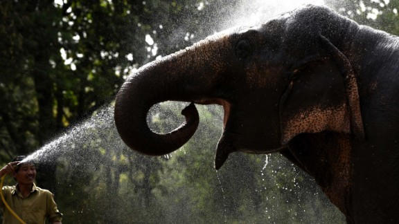 An Asiatic elephant is given water showers at Delhi Zoo, in New Dehli, India, on Saturday, May 30.  A blistering heat wave has killed more than 1,300 people in the country.
