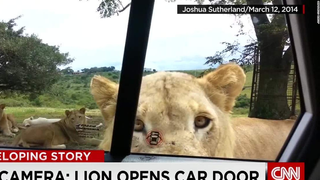 Photo shows lion moments before it killed U S  tourist - CNN
