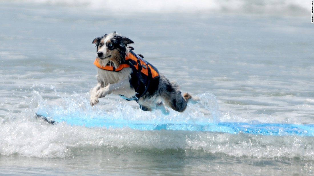Skylar, an Australian Shepherd from Huntington Beach, California, competes in the Incredible Surf Dog Competition on Friday, May 29.