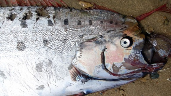 """Educator Annie MacAulay found this week's oarfish on Catalina Island. """"Even though the beautiful red crest, the eye and part of the tail had been consumed it was still an incredible sight,"""" MacAulay said."""
