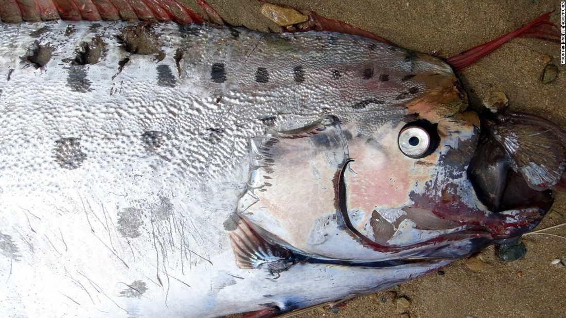 "Educator Annie MacAulay found this week's oarfish on Catalina Island. ""Even though the beautiful red crest, the eye and part of the tail had been consumed it was still an incredible sight,"" MacAulay said."