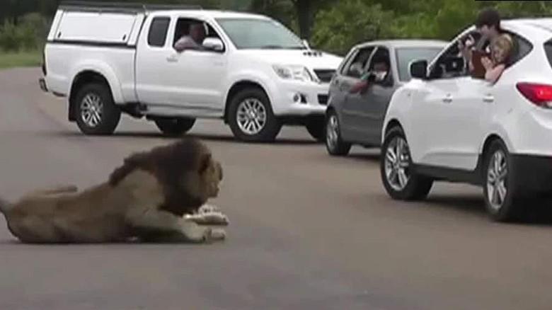 Safari visitors experience dangerous lion encounters