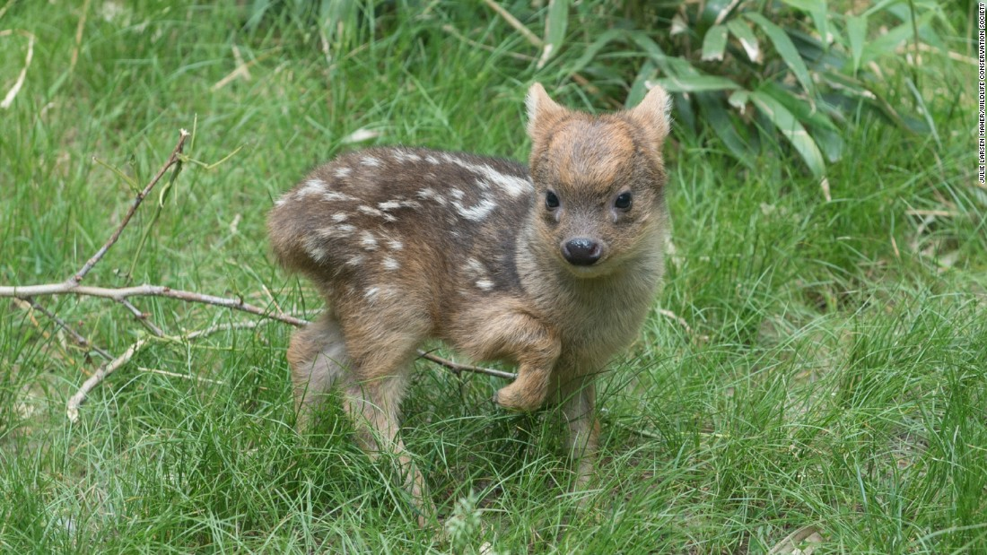 A southern pudu fawn, born May 12, walks in its enclosure at the Queens Zoo in New York. The pudu is the world's smallest deer species.