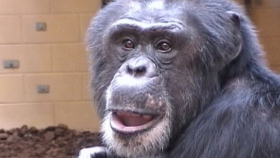 Sherman the chimp took a memory test and got a reward for right answers, but the experiment showed he had a complex thought pattern