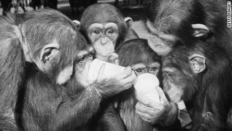 Our love for drinking: It's from the chimps