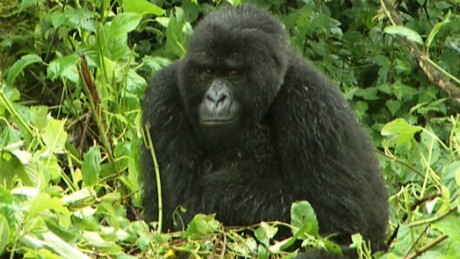 Fewer than 900 mountain gorillas are living in the wild today. Their biggest threats come from deforestation and growing population.