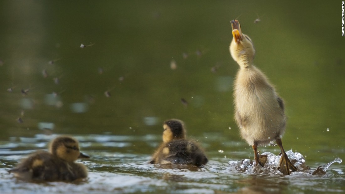 A duckling jumps out of pond water to catch some flies Wednesday, June 10, in Woburn, Massachusetts.