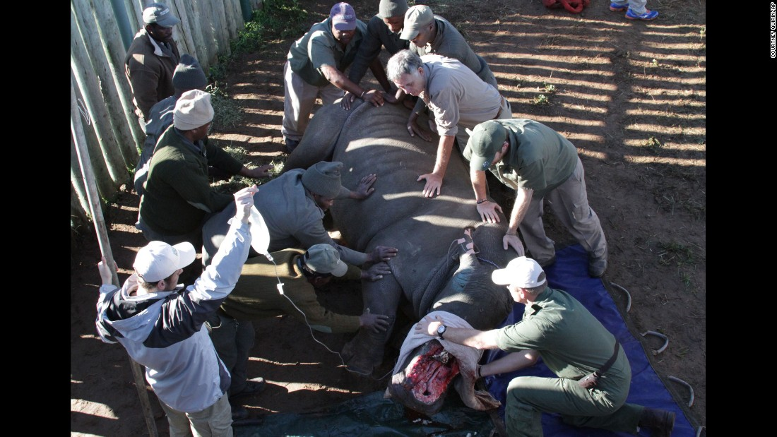 A rhinoceros named Hope is turned during surgery Monday, June 8, at the Shamwari Game Reserve near Port Elizabeth, South Africa. Hope had recently been attacked by poachers who hacked off her horns, fracturing her nasal bone and exposing her sinus cavities and nasal passages.