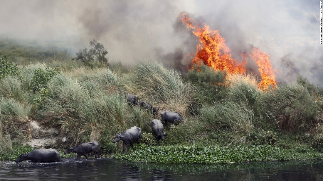 Buffaloes escape a fire near the Yamuna river in New Delhi on Tuesday, June 9.