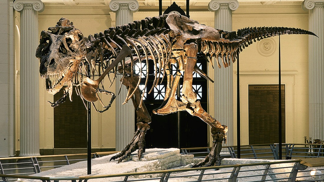 The museum's main attraction is Sue, the largest Tyrannosaurus in the world.