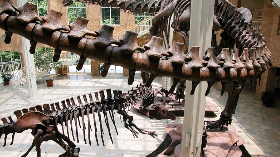 The Argentinosaurus is the largest dinosaur ever classified. The 100-ton beast