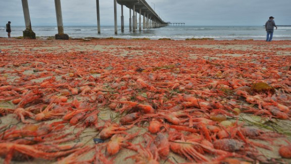 Masses of small red tuna crabs washed up along the southern California shoreline in June, according to local media reports. The striking sight may be the result of warm water carrying the crustaceans from their usual home along the west coast of Baja California and the Gulf of California, according to Linsey Sala, a museum scientist at the Scripps Institution of Oceanography, UC San Diego.