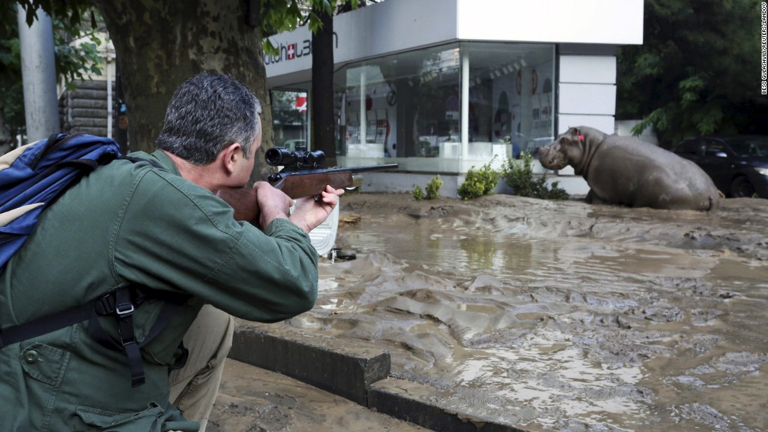 A man shoots a tranquilizer dart at a hippopotamus on a flooded street in Tbilisi on Sunday, June 14.