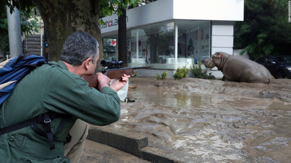 "A man in Tbilisi, Georgia, shoots a tranquilizer dart at a hippopotamus on Sunday, June 14. The hippo was among hundreds of wild animals <a href=""http://www.cnn.com/2015/06/14/world/gallery/georgia-flooded-zoo/index.html"" target=""_blank"">that escaped from a Tbilisi zoo</a> after severe flooding destroyed their enclosures."