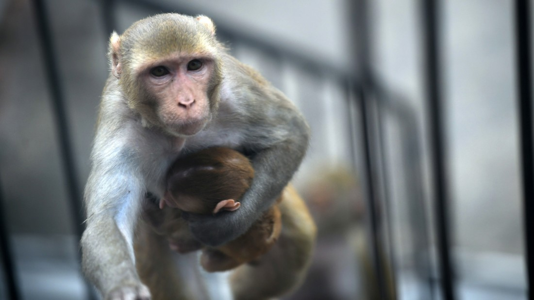 A monkey carries her baby as she climbs stairs in New Delhi on Monday, June 15.