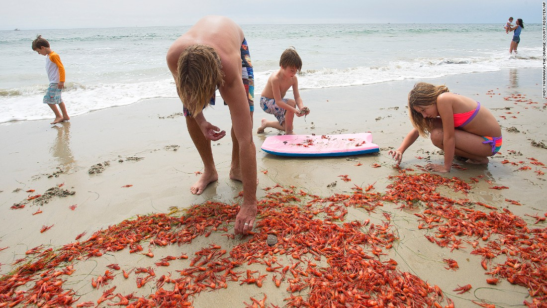 "A family in Dana Point, California, searches for moving tuna crabs that they could put back into the water on Sunday, June 14. Masses of the small red tuna crabs, or pelagic red crabs, have been washing up along the southern California shoreline for the past couple of weeks, according to <a href=""http://www.utsandiego.com/news/2015/jun/12/tuna-crabs-oceanbeach/"" target=""_blank"">local media reports. </a>"