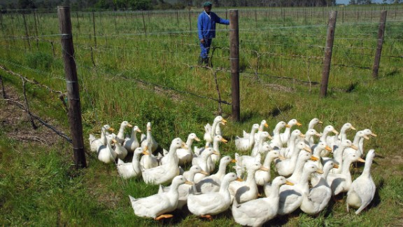 Some organic producers take this one step further, by using ducks to keep their vines in shape as seen here in Paarl, 31 miles from Cape Town. The ducks patrol the long rows of vines in the hunt for snails. Predatory wasps and beetles are also released to tackle mealy bugs which feed on plant sap.