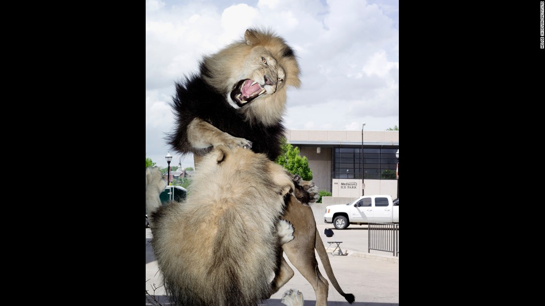 This entry, of two male African lions fighting, won an award at the World Taxidermy Championship in Springfield, Missouri. It was made by Dakota Taxidermy.