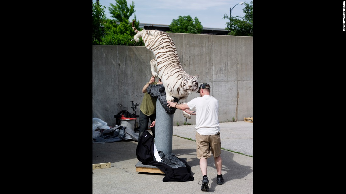 A white tiger is put into a trailer.