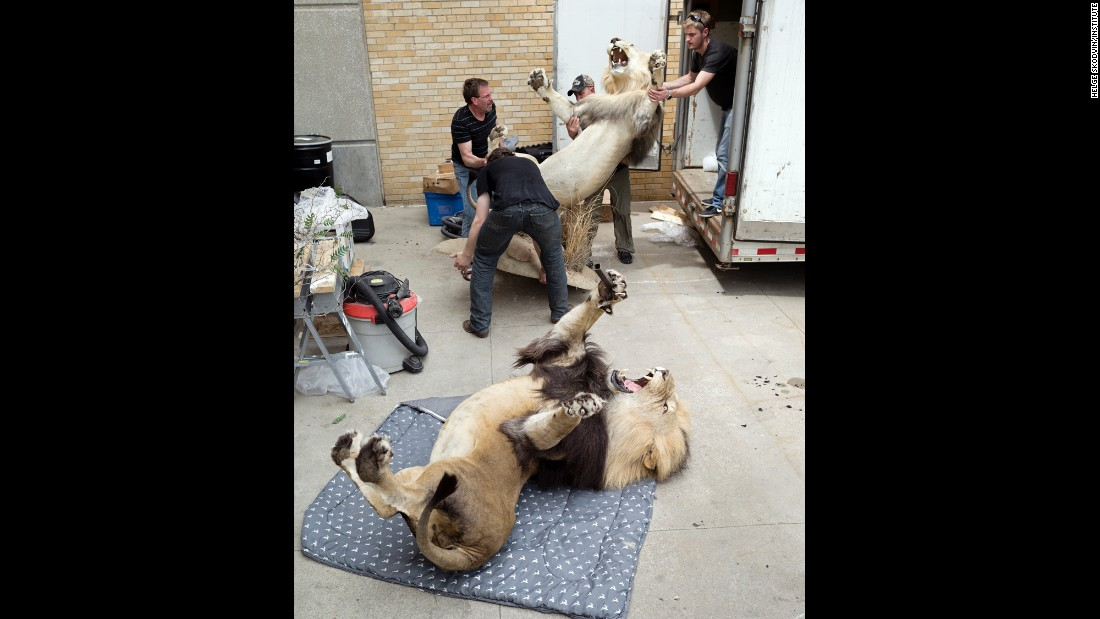 The team from Dakota Taxidermy unloads lions from a truck.