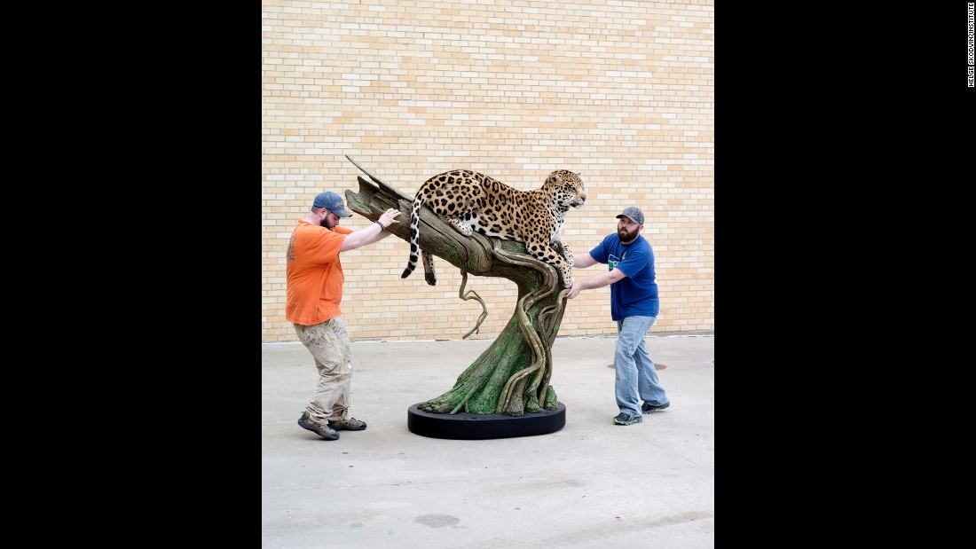 James Smith and Mike Foss move a jaguar that was prepared by Phil Soucy, Forest Hart and Mike Vernelson.
