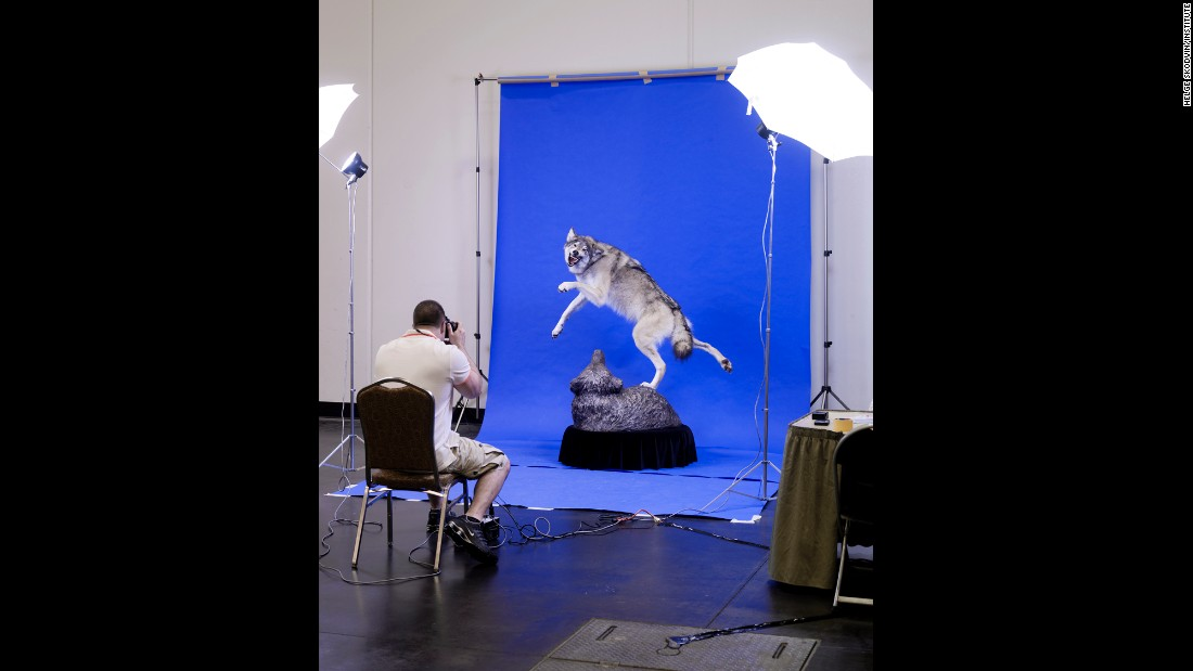 Brak-Dolny's wolf is photographed by a magazine.
