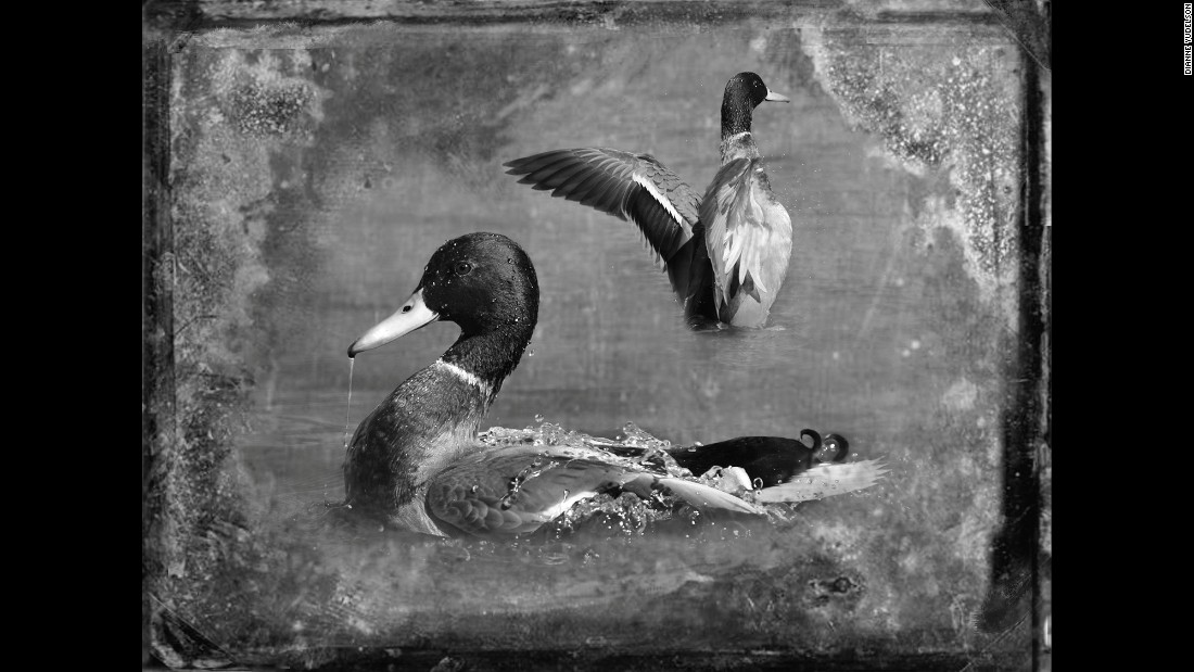 Dianne Yudelson used a variety of methods to make her bird photos look like antique tintypes. Pictured here are mallards.