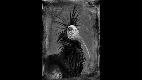 """""""With the waldrapp ibis, I was following him and taking his picture every few minutes,"""" Yudelson said. """"And finally he just gave me that look. He put all his feathers up and looked over at me like,"""