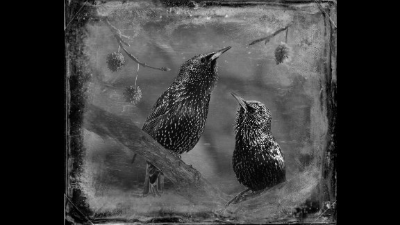 A photo of starlings. Yudelson kept many of the shots close-up and centered on the birds because she felt it expressed her personal connection with them.