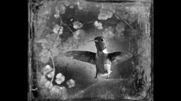"A ruby-throated hummingbird. ""If I"