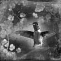 05 cnnphotos bird tintypes RESTRICTED