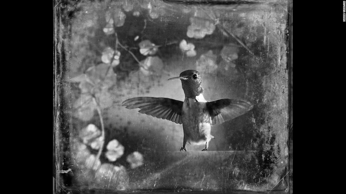 "A ruby-throated hummingbird. ""If I'm driving down the freeway and I see (a bird) out of the corner of my eye, I will detour or stall or sit and wait in a ditch,"" Yudelson said."