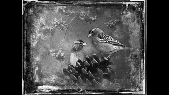 Chipping sparrows.