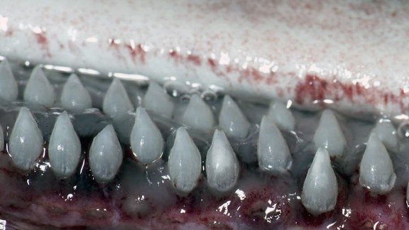 """Scientists say the placid plankton feeders have """"thin and week jaws lined with tiny (2-mm-long) teeth,"""" which make them rather """"un-shark-like."""""""