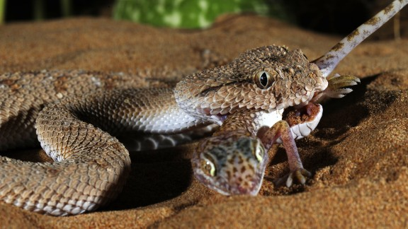 Animal venoms have evolved to immobilize and kill prey in seconds. Venomous toxins target vital body parts with extreme precision and potency, making them valuable templates to craft new drugs. Pictured, a desert viper preys on a gecko.