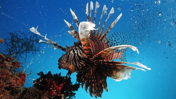 More than 1,000 species of fish have venom, including the Lionfish found in the Republic of Palau, Micronesia, whose spines have apparatus to produce venom when needed. The vast majority of the world's venomous fish remain unexplored by science.