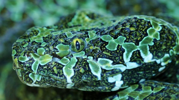 The venom of rare Mangshan vipers is being explored to identify new drugs for development.