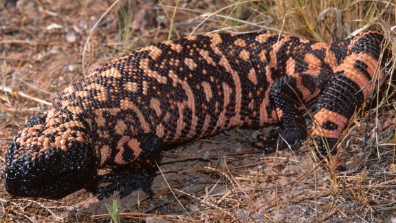 The Gila monster is one of the very few species of venomous lizard. It's found  in the United States and Mexico and is the source of exenatide -- a drug used to treat Type 2 diabetes.
