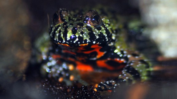 The venom of the fire-bellied toad has been in trials to develop drugs to help image and identify prostate cancer in patients.