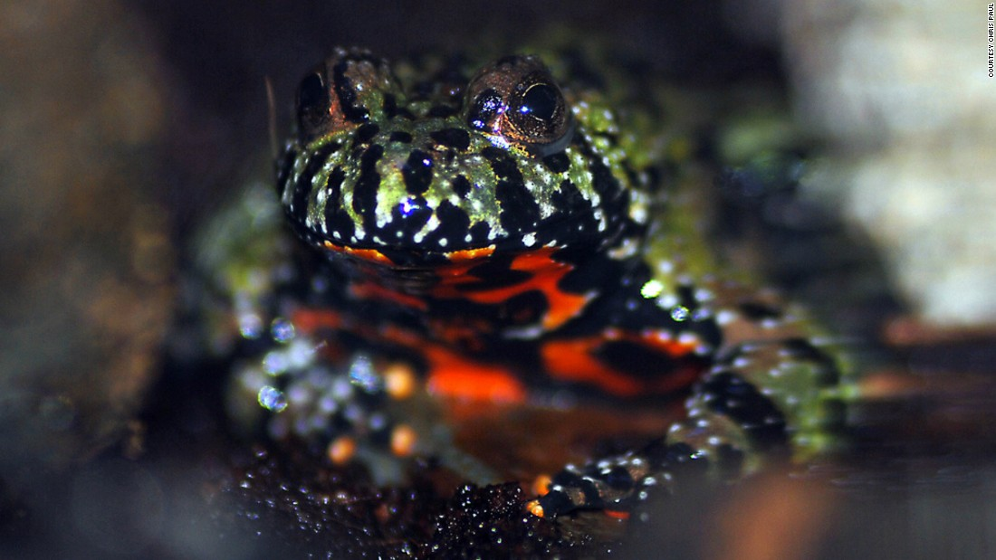 The venom of the fire-bellied toad is being trialed to develop drugs to help image and identify prostate cancer in patients.