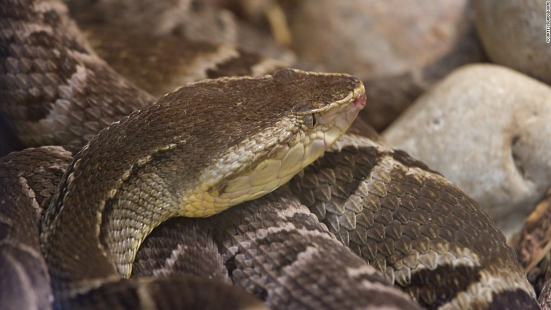 The venom of the Brazilian lancehead viper was once used on arrowheads. It was later identified as a potent drug to treat high blood pressure and was the first venom-based drug approved by the FDA, in 1981.