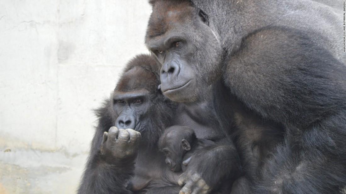 Gorilla Shabani