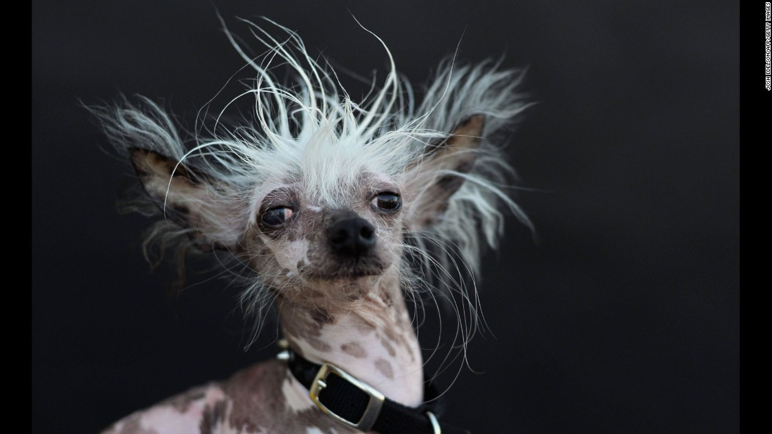 "Chinese crested Rascal Deux comes from ""ugly dog royalty,"" according to his biography. His father, Rascal, was named World's Ugliest Dog in 2002 and made the most of it, appearing on ""The Tonight Show,"" ""The View"" and other talk shows."