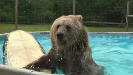 cnnee vo bear swimming in the pool_00001301